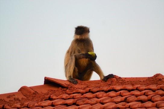 Hanuman Langoor