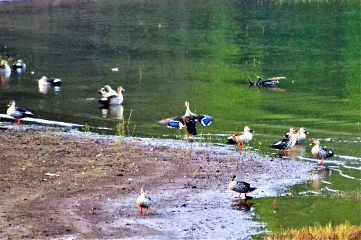 Ducks in Shivaji Lake
