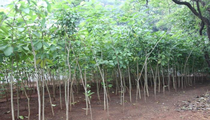 2000 Saplings Planted by Miyawaki Method at Material Organisation, Ghatkopar